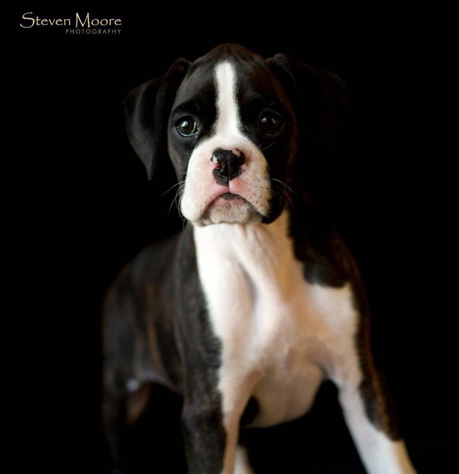 pure bred boxer puppy